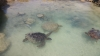 Turtles, Tamanu on the Beach, Vanuatu